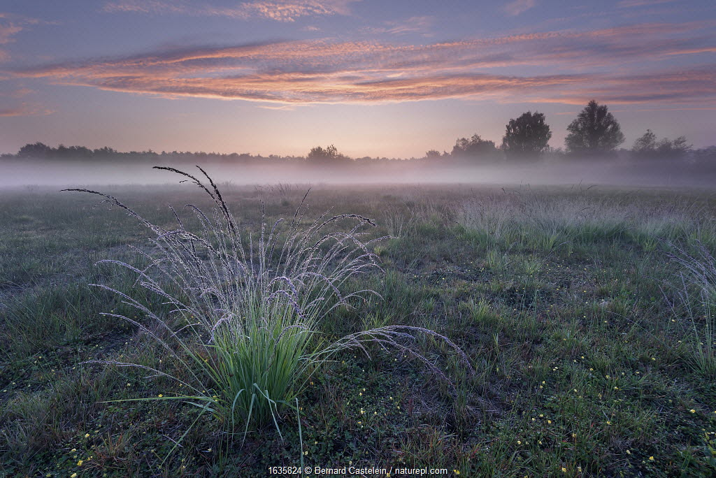 Purple Moor-grass (Molinia caerulea) tussock in grassland, on misty morning. Klein Schietveld, Brasschaat, Belgium. August 2019.
