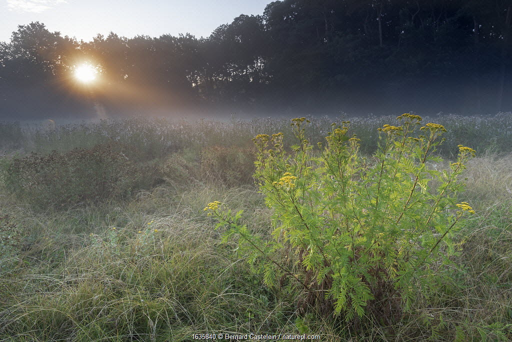 Tansy (Tanacetum vulgare) flowering in grassland on misty morning, sun visible through trees. Peerdsbos, Brasschaat, Belgium. July 2018.