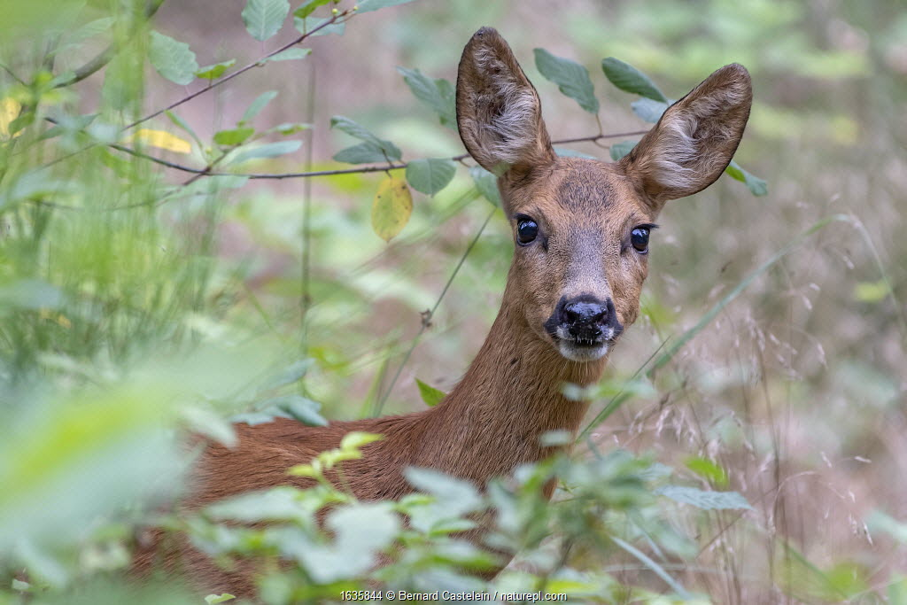 Roe deer (Capreolus capreolus) doe amongst vegetation. Peerdsbos, Brasschaat, Belgium. July.