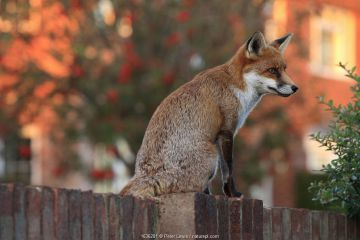 Red fox cub (Vulpes vulpes) on fence, Hampshire, England, UK, October.