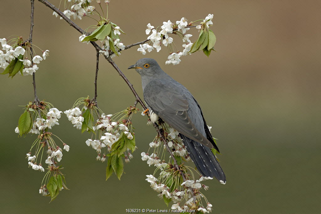 Common Cuckoo (Cuculus canorus) perched on Cherry tree blossom Surrey, England, UK. April.