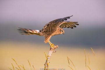Montagu's harrier (Circus pygargus) female balancing on post, Germany. June