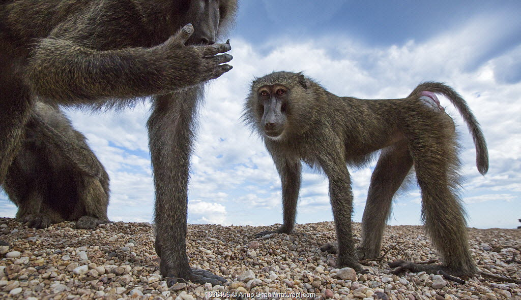 Olive baboons (Papio anubis) standing on the lake shore. Gombe National Park, Tanzania.