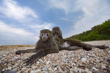 Olive baboon (Papio anubis) young male being groomed on the shores of Lake Tanganyika. Gombe National Park, Tanzania.