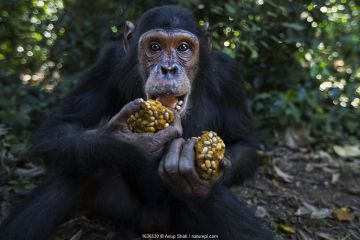Eastern chimpanzee (Pan troglodytes schweinfurtheii) juvenile male 'Gimli' aged 10 years with wodges of fruit he is feeding on . Gombe National Park, Tanzania