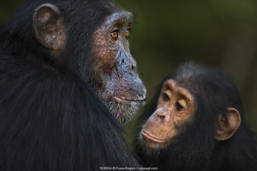 Eastern chimpanzee (Pan troglodytes schweinfurtheii) male 'Sampson' aged 18 years watched by infant male 'Gizmo' aged 4 years . Gombe National Park, Tanzania