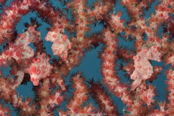 Four Pygmy seahorses (Hippocampus bargibanti) on a Seafan / Gorgonian (Muricella sp. ) including one or several pregnant males. New Caledonia, Pacific Ocean.