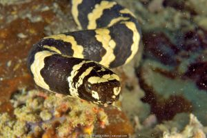 Close-up of a Egg-eating / Turtleheaded sea snake (Emydocephalus annulatus) with eggs coming out of its mouth, New Caledonia, Pacific Ocean.