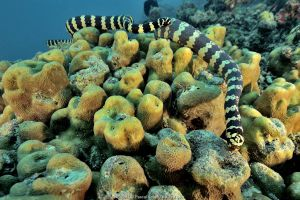 Pair of courting Egg-eating sea snakes / Turtleheaded sea snakes (Emydocephalus annulatus) New Caledonia, Pacific Ocean.