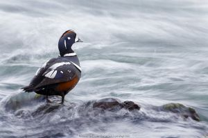 Harlequin duck (Histrionicus histrionicus) in river stream. Myvatn, Iceland. May.