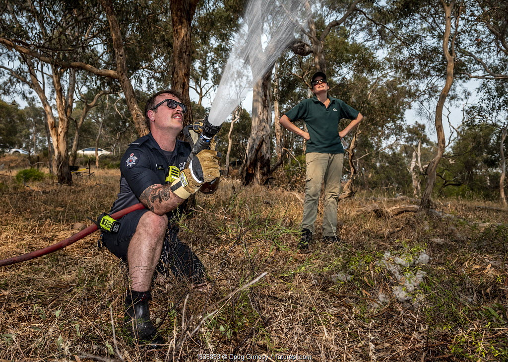 Firefighter from Melbourne's Metropolitan Fire Brigade (MBF) try and help cool down the Yarra Bend Grey-headed Flying-fox (Pteropus poliocephalus) colony by spraying water on them. Park Ranger and Grey-headed Flying-fox Project Officer Stephen Brend estimated that during this day, over 4,500 Grey-headed Flying-foxes died at the Melbourne Yarra Bend colony as temperatures exceeded 43°C. 56% being infants and a significant part of the next generation. Yarra Bend Park, Kew, Victoria, Australia. December 2019. Editorial use only.
