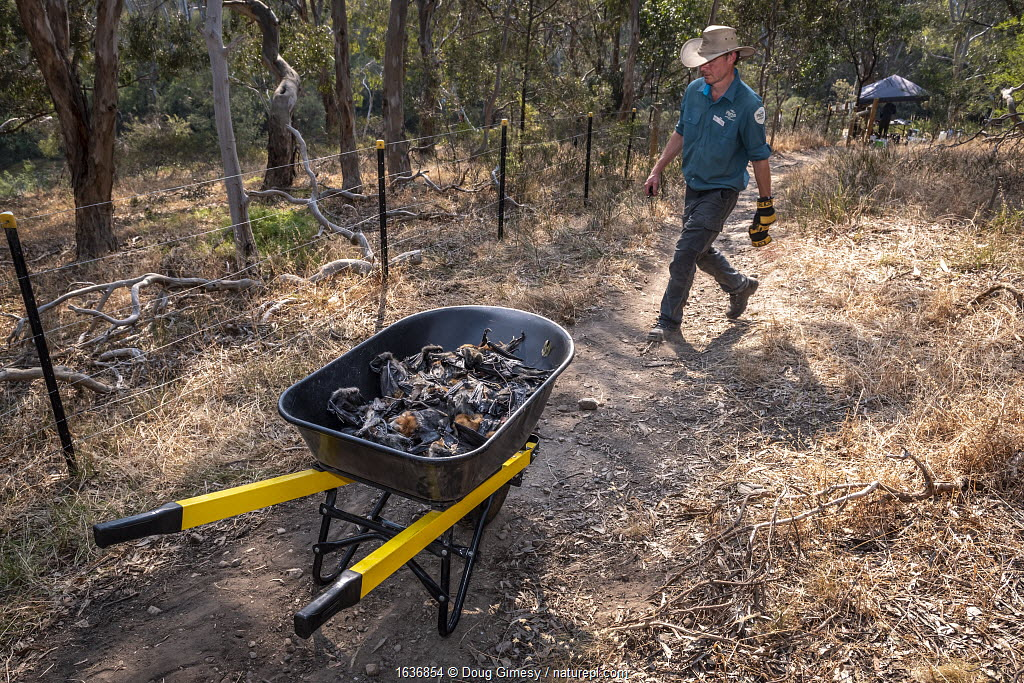 Park Ranger and Grey-headed Flying-fox Project Officer Stephen Brend on his way to get more supplies and coordinate rescue attempts, walks past a wheelbarrow filled with dead Grey-headed Flying-foxes (Pteropus poliocephalus) that he and volunteers had collected earlier - the result of an extreme heat event at the Melbourne colony. Park Ranger and Grey-headed Flying-fox Project Officer Stephen Brend estimated that during this day, over 4,500 Grey-headed Flying-foxes died at the Melbourne Yarra Bend colony as temperatures exceeded 43°C. 56% being infants and a significant part of the next generation. Yarra Bend Park, Kew, Victoria, Australia. December, 2019. Editorial use only.