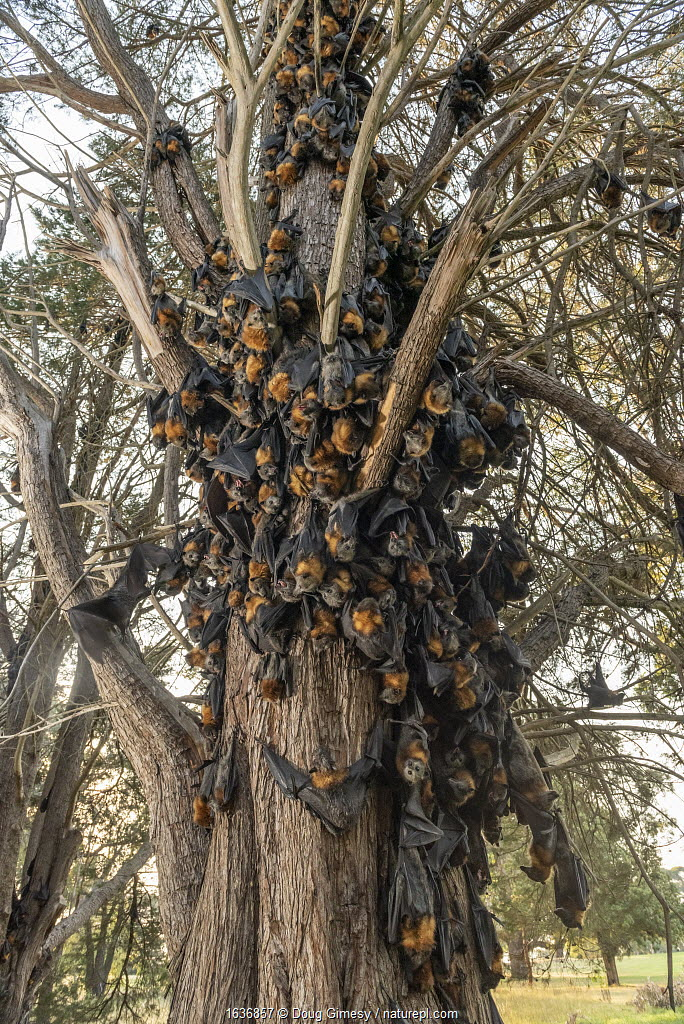 During an extreme heat-stress event at Melbourne's Yarra Bend Grey-headed Flying-fox (Pteropus poliocephalus) colony, where temperatures exceeded 43°C, in a desperate search for somewhere cooler and less exposed, Grey-headed Flying-fox (Pteropus poliocephalus) descend from the safety of the tree canopy looking for a cooler place. Ironically and sadly, this behaviour results in what experts call 'clumping' - where the number of bats in close proximity means that the animals get even hotter. It is often a precursor to mass deaths. On the ground there were already many dead bats that had succumb to this heat-stress event. Yarra Bend Golf course, Fairfield, Victoria, Australia. December 2019.