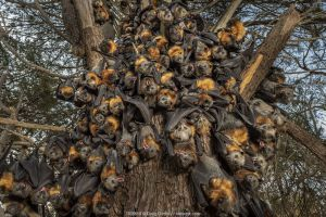 During an extreme heat-stress event at Melbourne's Yarra Bend Grey-headed Flying-fox (Pteropus poliocephalus) colony, where temperatures exceeded 43°C, in a desperate search for somewhere cooler and less exposed, Grey-headed Flying-fox (Pteropus poliocephalus) descend from the safety of the tree canopy looking for a cooler place. Ironically and sadly, this behaviour results in what experts call 'clumping' - where the number of bats in close proximity means that the animals get even hotter. It is often a precursor to mass deaths. On the ground there were already many dead bats that had succumb to this heat-stress event. Yarra Bend Golf course, Fairfield, Victoria, Australia. December, 2019.