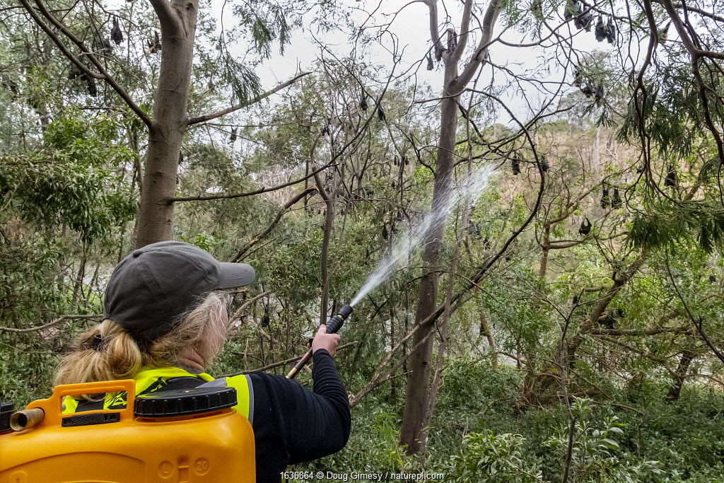 Volunteer bat rescuer Tracy Cleaves, spraying water t to cool down some Grey-headed Flying-foxes (Pteropus poliocephalus) that have descended from the safety of higher branches, in an attempt to escape the heat of the day during a heat-stress event. Yarra Bend Park. Kew, Victoria, Australia. December 2019.