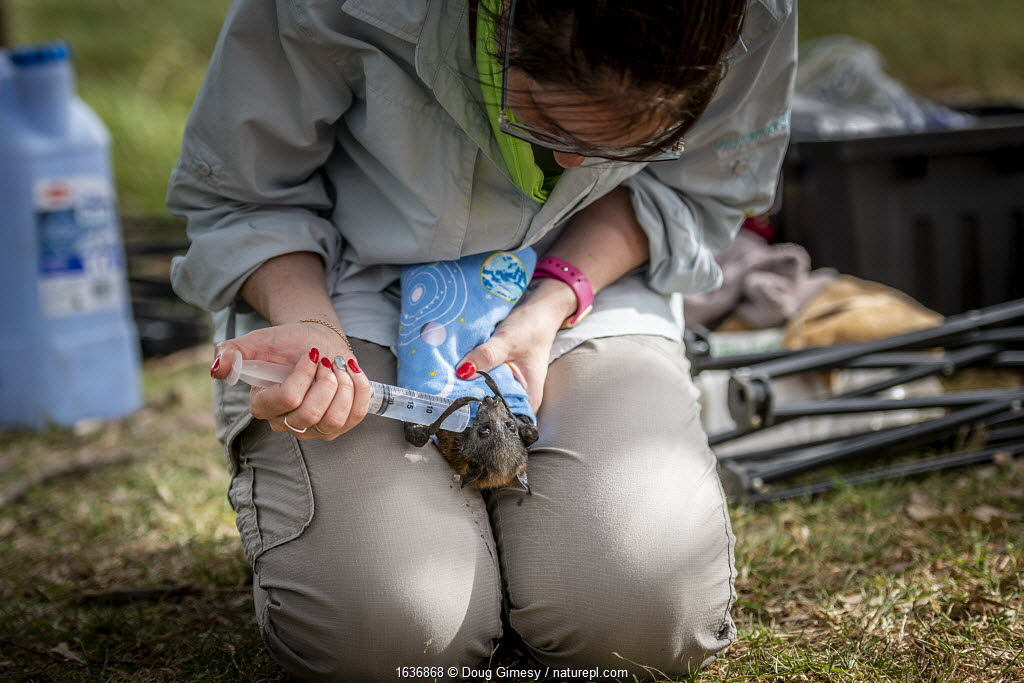 During an extreme heat-stress event where temperatures exceeded 40°C, wildlife rescuer and carer Kate Chamberlain gives in-field triage to a suffering Grey-headed Flying-fox (Pteropus poliocephalus) by providing cool fluids. Yarra Bend Golf Course, Fairfield, Victoria, Australia. December 2019. Editorial use only.