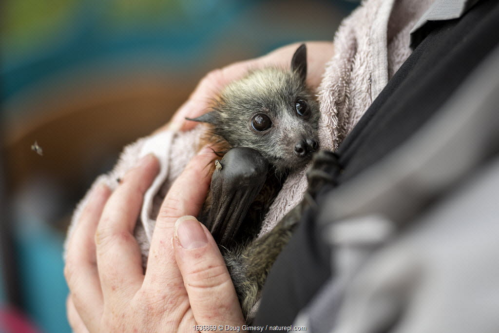 Bat rescuer, carer and founder of Fly-by-night bat clinic, Tamsyn Hogarth, comforts a young rescued Grey-headed Flying-fox (Pteropus poliocephalus) that has just been rescued during a heat-stress event at the Yarra Bend Colony, Kew, Victoria, Australia. During this day, temperatures exceeded 4O°C and many died. Yarra Bend Gold Course, Fairfield, Victoria, Australia. December 2019.
