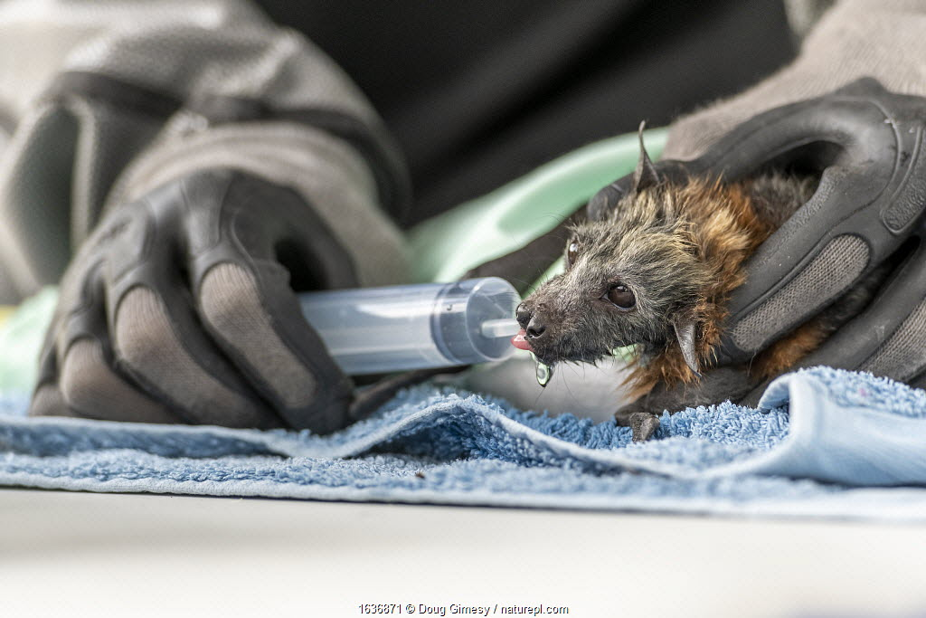 During an extreme heat-stress event where temperatures exceeded 40°C, Melbourne Zoo veterinarian Sarah Frith gives in-filed triage to a suffering young and Grey-headed Flying-fox (Pteropus poliocephalus) by providing cool fluids. Yarra Bend Golf Course, Fairfield, Victoria, Australia. December 2019. Editorial use only.