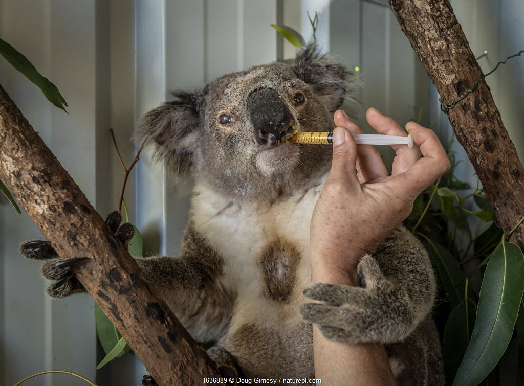 Senior wildlife carer for Port Stephens Koalas, Julie Jennings, feeds a bushfire victim koala (Phascolarctos cinereus) named 'Char', a supplementary feed. Char was caught in a bushfire at Hillville near Taree (NSW) in November, 2019. He had burnt toes which are healing, but then developed an eye problem. One Mile, NSW, Australia. December 2019. Editorial use only.