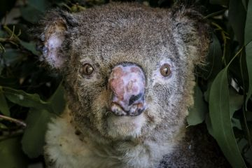 Portrait of a burnt koala (Phascolarctos cinereus) named 'Flash', a victim of the bushfires at Hillville near Taree (NSW). He arrived into care with a burnt nose, burnt hands and feet. One Mile, NSW, Australia. December 2019.