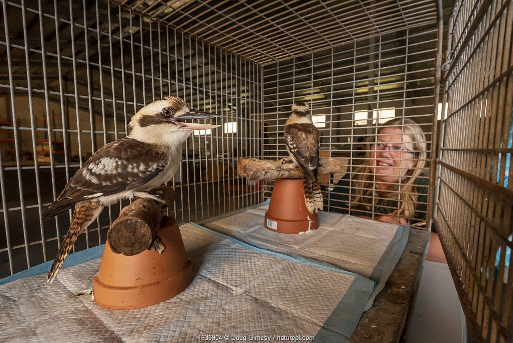 Jacky Hunt, specialist in bird rescue and rehabilitation, with two Kookoaburras (Dacelo sp.) which she is providing temporary accommodation for in her factory. These birds were evacuated from the Walkabout Wildlife Park in Calga (NSW) due to bushfire threat. Originally it was supposed to be for a few days, but when this image was taken it was close to three weeks. Berkeley Vale, NSW, Australia, December 2019. Editorial use only.