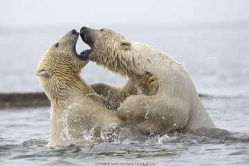 Polar bears (Ursus maritimus) fighting in water. Beaufort Sea, Kaktovik, Alaska, USA