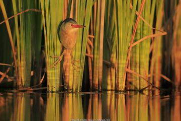 Little Bittern (Ixobrychus minutus) hunting in reeds, Bulgaria.