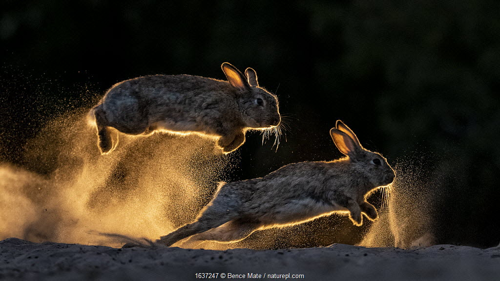 European rabbits (Oryctolagus cuniculus) fighting each other, Kiskunsag National Park, Hungary. June.