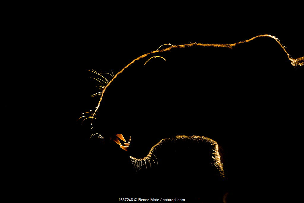 Silhouette of an African leopard (Panthera pardus pardus) snarling, Mkuze, South Africa. September.