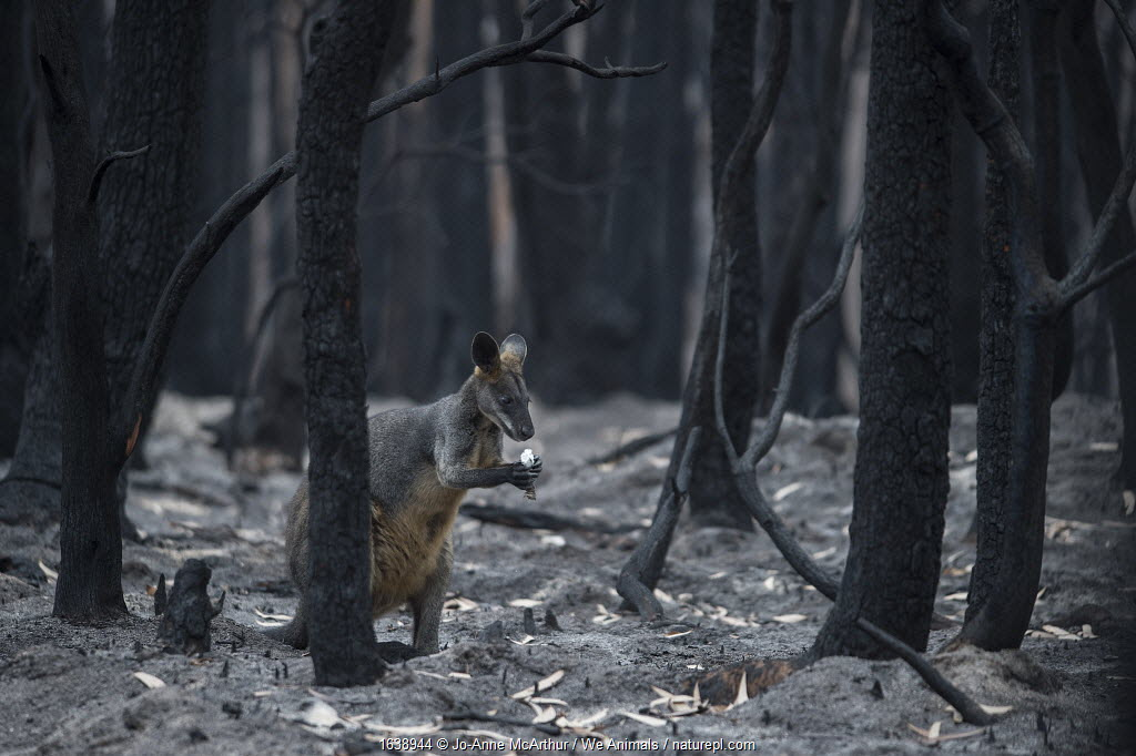 A lone wallaby in a burnt forest in Mallacoota forages for fungi growing from the forest floor. Australia, January 2020