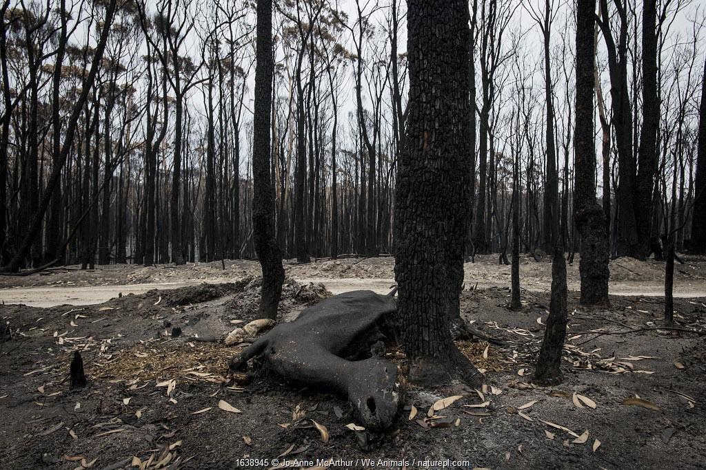 A deer who died in a bushfires in Mallacoota, Australia, January 2020