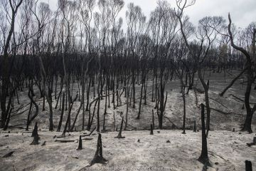 Forest surrounding Mallacoota, Australia, destroyed by bushfires. January 2020