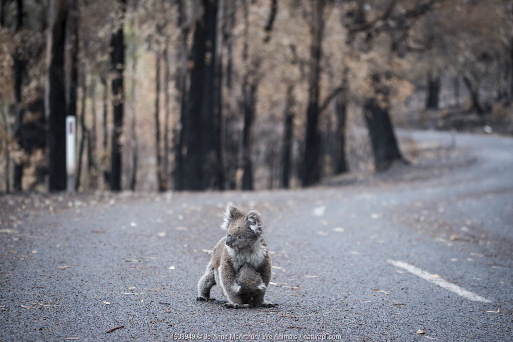 Koala (Phascolarctos cinereus) female and her joey who survived a bushfire cross a road in Mallacoota, Australia, January 2020