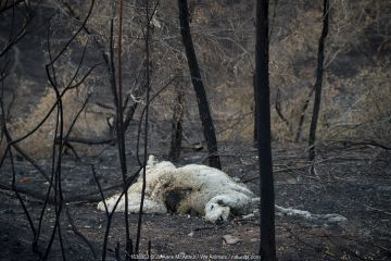 A dead sheep killed by a bushfire in the Buchan area, Australia, January 2020