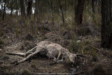 Dead kangaroo killed by a bushfire in the Buchan area, Australia, January 2020