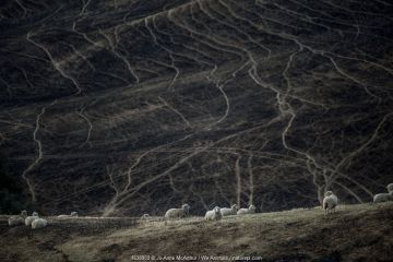 Sheep graze on land scorched by a bushfire in the Buchan area, Australia, January 2020