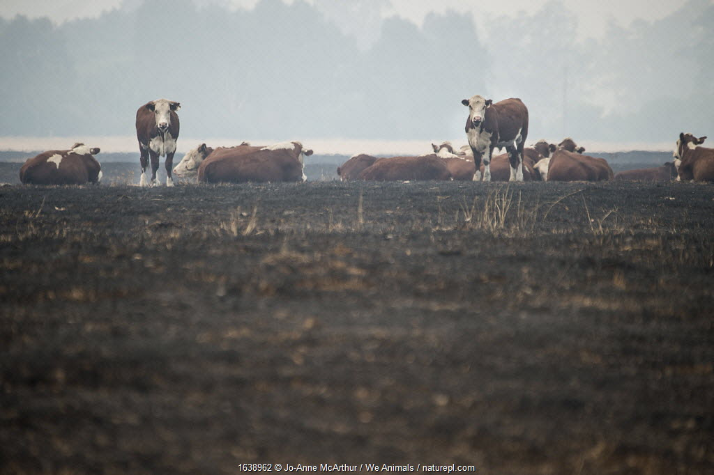 Cows stand on land scorched by bushfire in the Corryong area, Australia. January 2020