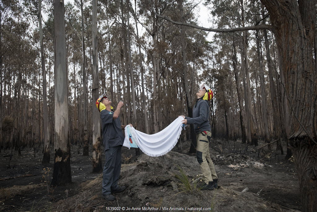 Rescuers hold a blanket under Koala (Phascolarctos cinereus) who has been darted and sedated. Though he was safely brought down by an arborist, it's safest to have a back-up below the tree in case the koala falls. The koala was injured in a bushfire that destroyed this eucalyptus plantation. Australia, January 2020