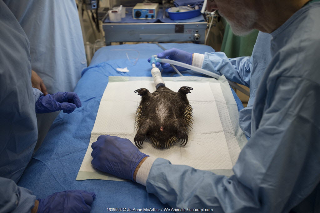 Injured Short-beaked echidna (Tachyglossus aculeatus) is sedated and treated for injuries at Southern Cross Wildlife Care, Braidwood. The animal was injured in a bushfire. Australia, January 2020.