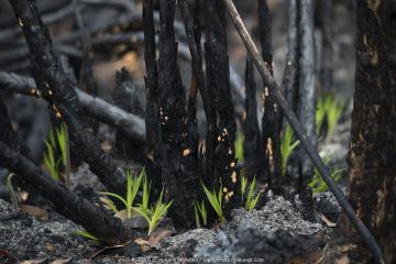 Three weeks after bushfires raged through Mallacoota, new growth spurts up around tree trunks. Australia, January 2020