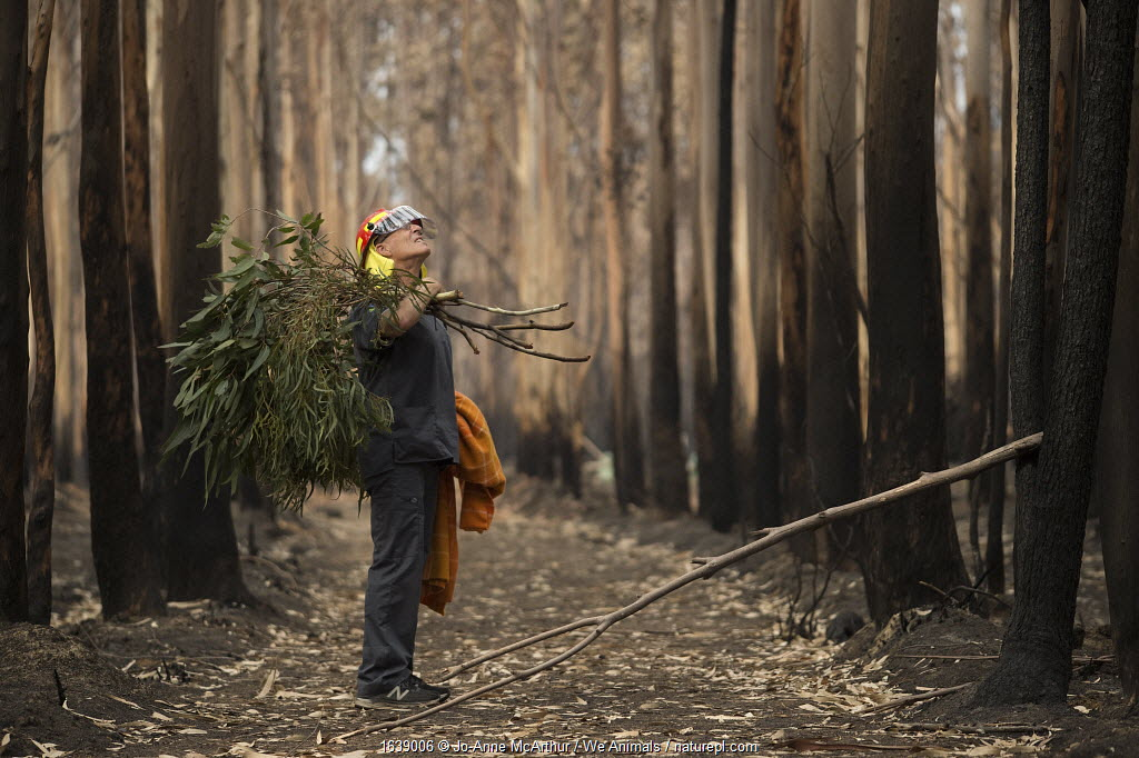 Veterinarian Chris Barton of 'Vets for Compassion'carrying eucalyptus browse into a eucalyptus tree plantation destroyed by bushfire. Surviving koalas perch high in trees. The fresh eucalyptus is tied to the base of trees which lures them down, at which point the rescuers and vets can catch the koala and assess them for injuries. If the animals are kept for rehabilitation, they will later be released to the wild. Australia, 2020