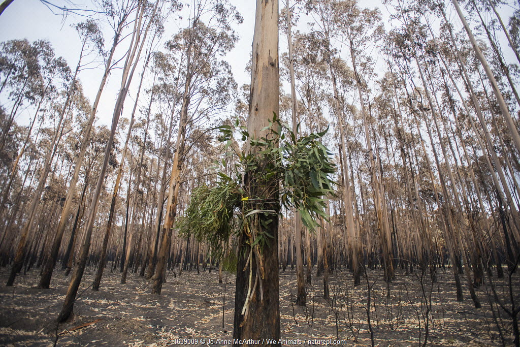 Fresh eucalyptus browse tied to the base of a eucalyptus tree. This plantation was destroyed by a bushfire. There was a koala in the tree, which rescuers were trying to lure down, so they could assess it for injuries. If the animals are kept for rehabilitation, they will later be released to the wild. Australia, January 2020