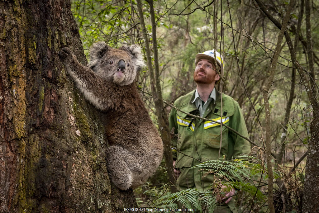 Koala (Phascolarctos cinereus) female released at Log Crossing in the Colquhoun State Forest (Kalimna West, Victoria) and watched on by Senior Forest and Wildlife Officer Lachlan Clarke.? She came in for treatment for burns to her feet and was originally found in Gelantipy, however she was released here as the original habitat was destroyed in the bushfires. Colquhoun State Forest, Victoria, Australia. January 2020. Editorial use only
