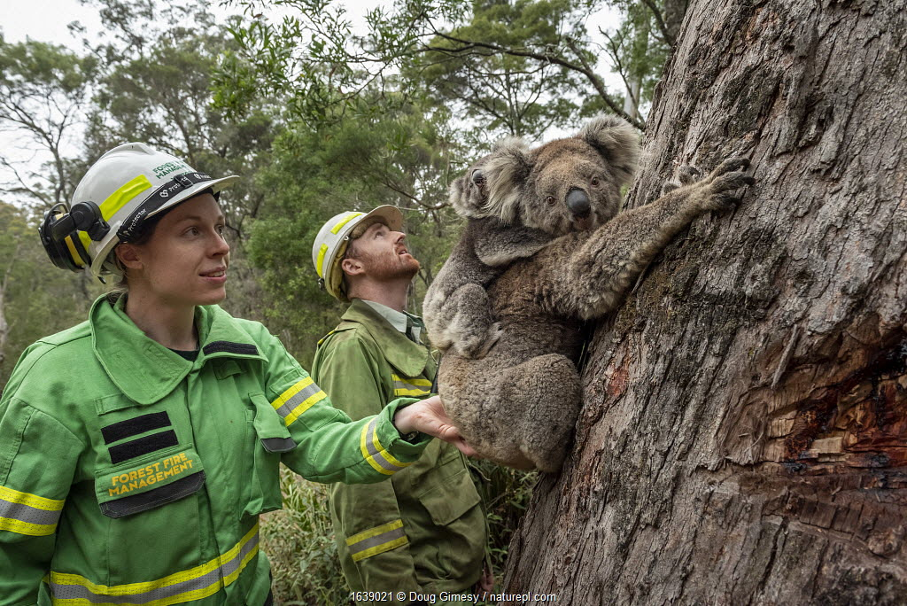 Koala (Phascolarctos cinereus) mother and joey are released by Emily Cordy (left/green clothes) - a Forest and Wildlife officer (and assisted by members from the Australian Defence Force) at Log Crossing in the Colquhoun State Forest She came in for treatment for burns to her feet and was originally found in Gelantipy, however she was released here as the original habitat was destroyed in the bushfires. Colquhoun State Forest, Victoria, Australia. January 2020. Editorial use only