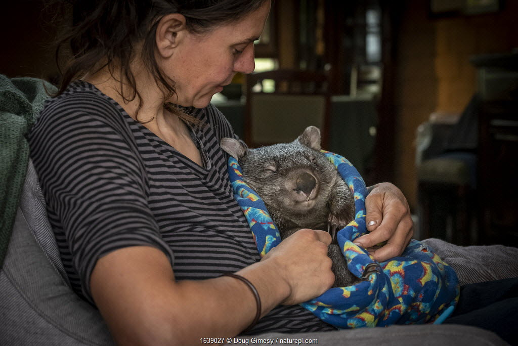 A male bare-nosed wombat (Vombatus ursinus) cared for by Rena Gaborov - wildlife rescuer and carer - in Renas mothers lounge. Rena and her partner Joseph had to evacuate their wildlife (wombats, possums and kangaroos) from their home and wildlife shelter in Goongerah (Victoria) when bushfires threatened and then destroyed it in December 2019. They are now living at Rena's mother house in Sarsfield, which was also nearly destroyed in the fires. They plan to move back and rebuild their home and wildlife shelter when the roads are open again. Sarsfield, Victoria, Australia January 2020. Model released.