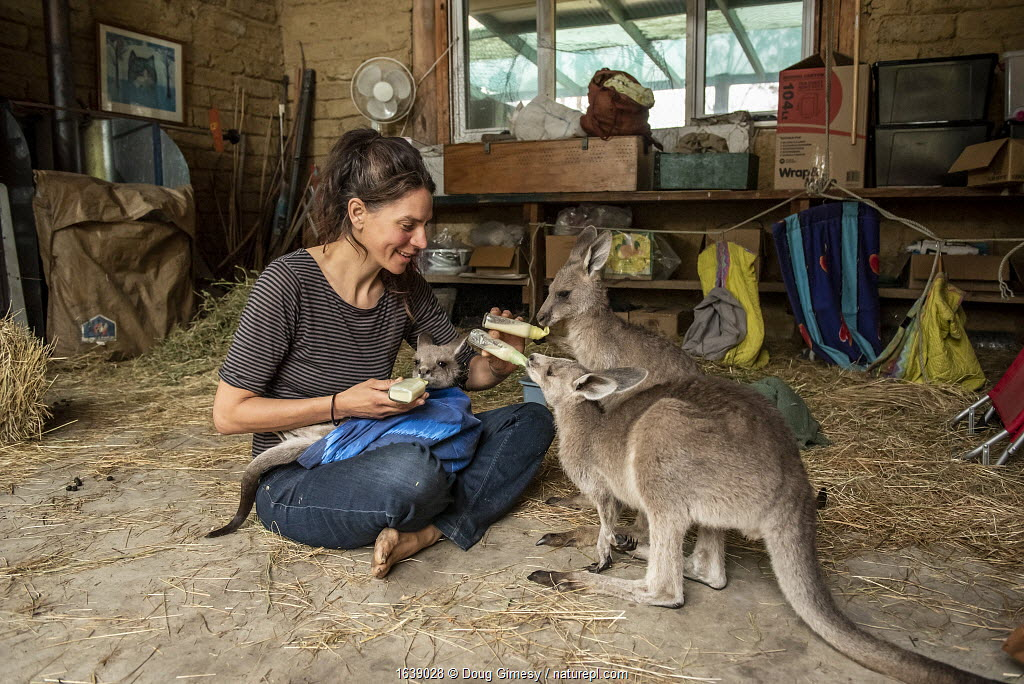 Rena Gaborov feeding some of her eastern grey kangaroo (Macropus giganteus) orphans in her mother's shed. Rena and her partner Joseph had to evacuate their wildlife (wombats, possums and kangaroos) from their home and wildlife shelter in Goongerah (Victoria) when bushfires threatened and then destroyed it in December 2019. They are now living at Rena's mother house in Sarsfield, which was also nearly destroyed in the fires. They plan to move back and rebuild their home and wildlife shelter when the roads are open again. Sarsfield, Victoria, Australia January 2020. Editorial use only