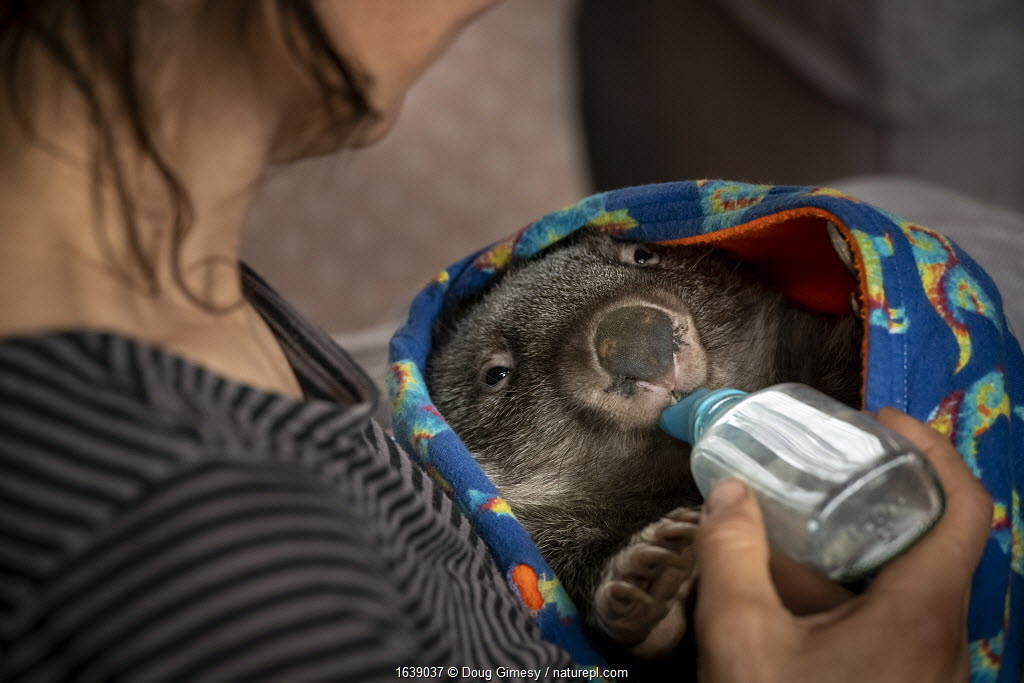 Wombat (Vombatus ursinus) male is bottle fed by Rena Gaborov - wildlife rescuer and carer. Rena and her partner Joseph had to evacuate their wildlife (wombats, possums and kangaroos) from their home and wildlife shelter in Goongerah (Victoria) when bushfires threatened and then destroyed it in December 2019. They are now living at Rena's mother house in Sarsfield, which was also nearly destroyed in the fires. They plan to move back and rebuild their home and wildlife shelter when the roads are open again. Sarsfield, Victoria, Australia January 2020. Editorial use only