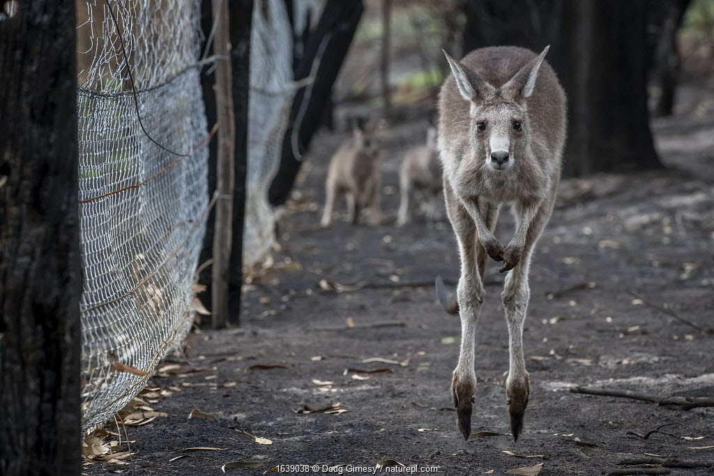 Orphaned Eastern grey kangaroos (Macropus giganteus) in the burnt-out yard at wildlife rescuer and carer Rena Gaborov mother's property at Sarsfield. Rena and her partner Joseph had to evacuate their wildlife (wombats, possums and kangaroos) from their home and wildlife shelter in Goongerah (Victoria) when bushfires threatened and then destroyed it in December 2019. They are now living at Rena's mother house in Sarsfield, which was also nearly destroyed in the fires. They plan to move back and rebuild their home and wildlife shelter when the roads are open again. Sarsfield, Victoria, Australia. January, 2020