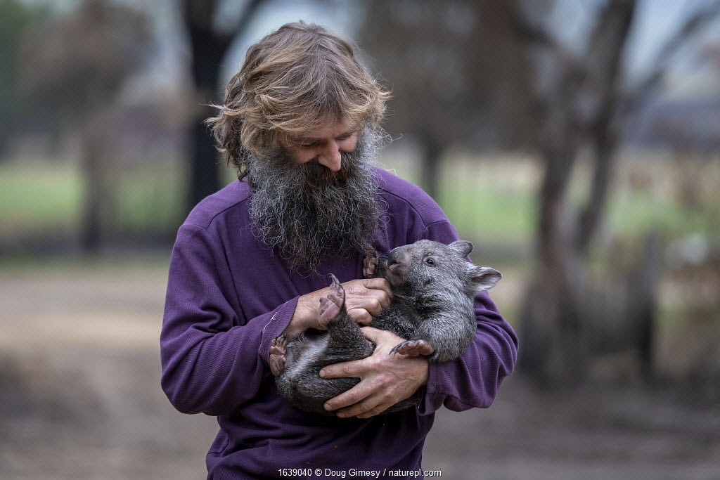 Portrait of Joseph Henderson holding a male bare-nosed wombat (Vombatus ursinus(. He and his partner, Rena, had to evacuate the wildlife (wombats, kangaroos and possums) from their home and wildlife shelter in Goongerah, Victoria. when bushfires threatened and then destroyed it in December 2019. They are now living at Rena's mother house in Sarsfield, which was also nearly destroyed in the fires. They plan to move back and rebuild their home and wildlife shelter when the roads are open again. Sarsfield, Victoria, Australia. January 2020. Editorial use only.