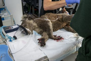 Burnt feet of anaesthetised female Koala (Phascolarctos cinereus) as she is treated, at a mobile wildlife triage centre at Bairnsdale (which was set up to treat animals as a result of the bushfires that have been ravaging Australian late 2019/early 2020). If left untreated Injuries like this mean they cannot climb a tree so will starve and as they can't eat, they often don't get any fluids and so dehydrate - which also means the wounds won't heal. Bairnsdale, Victoria, Australia. January 2020. Editorial use only
